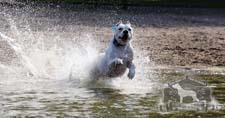 A Dogo Argentino swimming
