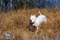 A Dogo Argentino on a field