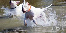 Two Dogo Argentino dogs swimming