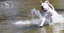 A Dogo Argentino having fun in the water