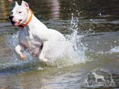 An active Dogo Argentino