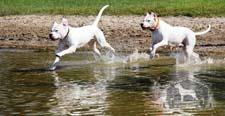 Two Dogo Argentino dogs bonding