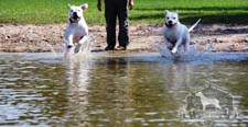 Two Dogo Argentino dogs running toward the water