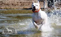A Dogo Argentino running toward the water