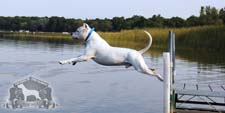A Dogo Argentino diving