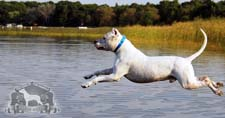 Photo of a Dogo Argentino diving