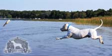 Dogo Argentino Jumping after Bird