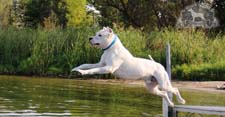 Dogo Argentino Jumping off Dock
