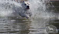 Dogo Argentino Water Dog
