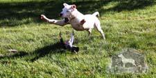 Dogo Argentino Hunting Bird Dog
