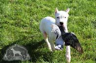 Dogo Argentino Bird Dog