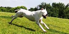 A quality Dogo Argentino
