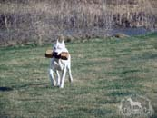 A Dogo Argentino playing fetch