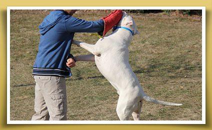 Dogo Stud Service