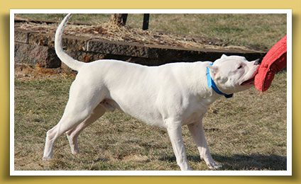 Stud Service for Dogo Argentino