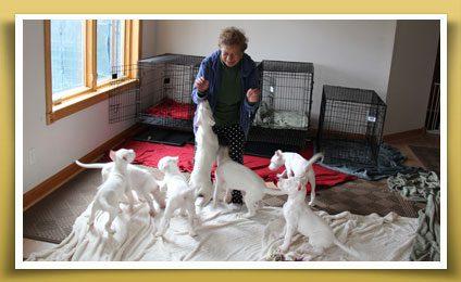 Dogo Argentino Puppies with Grandma