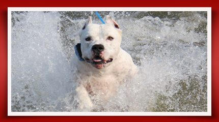 Dogo Argentino Water dog brave