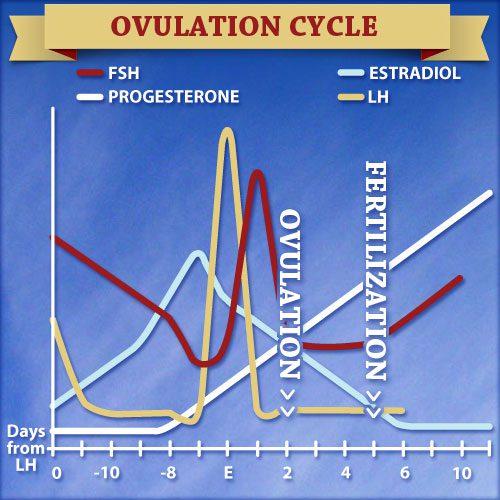 Dogo Argentino Ovulation Cycle