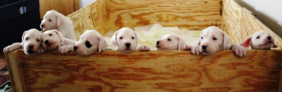 Past Dogo Pups