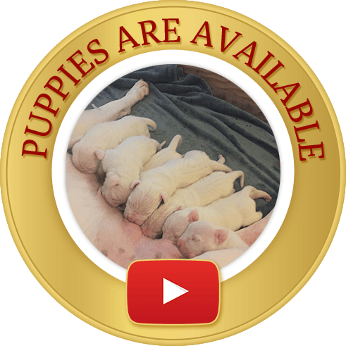 Dogo Argentino new born Puppies for sale
