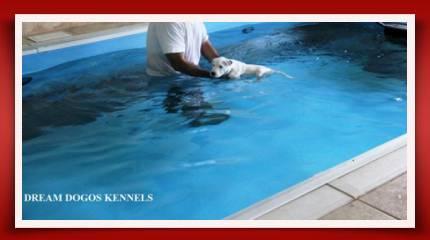 One Dogo Argentino splashing