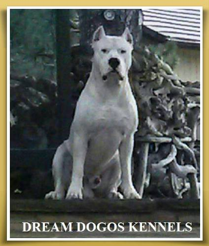 Photo of a Dogo Argentino